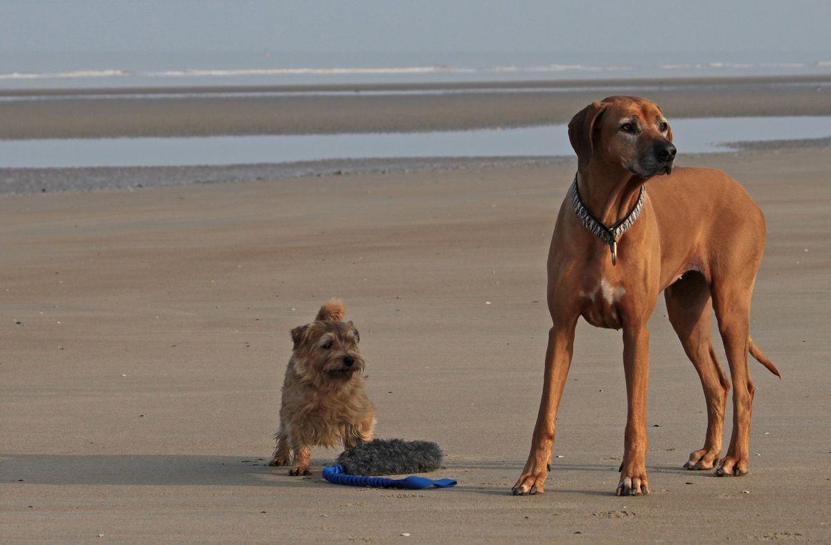 Rhodesian Ridgeback With A Friend Norfolk Terrier