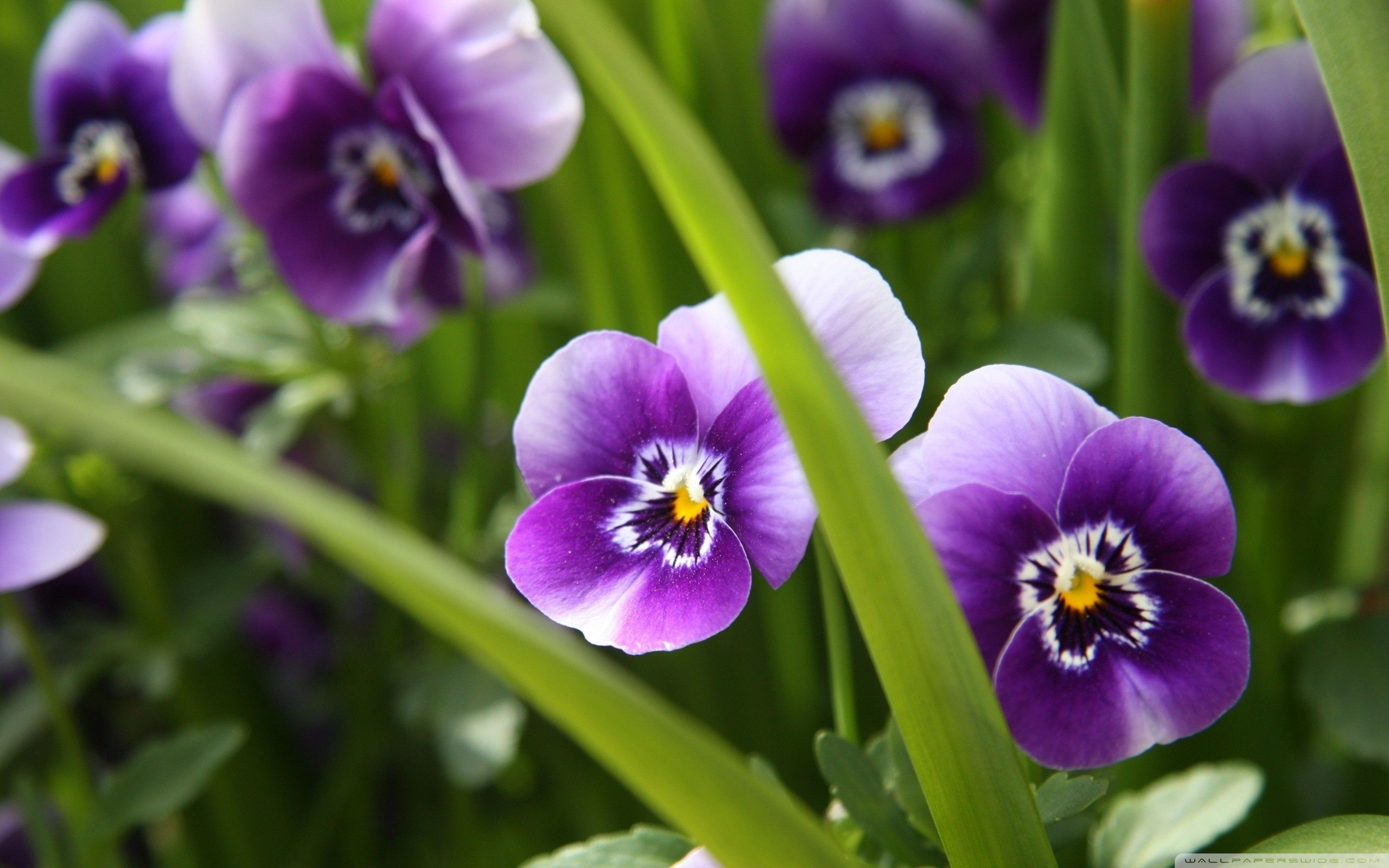 Peek A Boo Pansies Photo Only No Source Found Pansies Flowers Purple Flowers Wallpaper Purple Flower Pictures