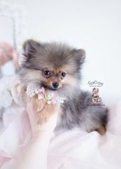 pomeranian-puppy-for-sale-462-teacup-puppies #pomeranian #cuteteacuppuppies pome...   - decoration - #cuteteacuppuppies #decoration #Pome #Pomeranian #pomeranianpuppyforsale462teacuppuppies #cuteteacuppuppies