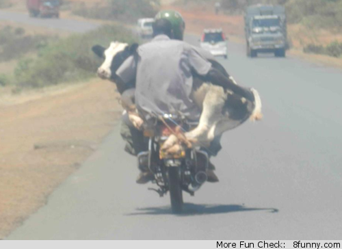 cow on a motorbike