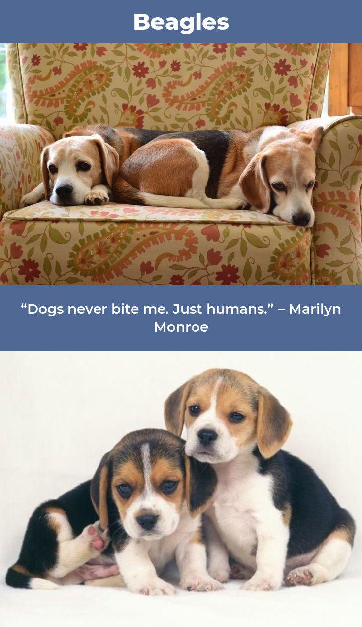 Pin By Wanda Mccollum On Beagles Dogs Beagle Beagle Puppy