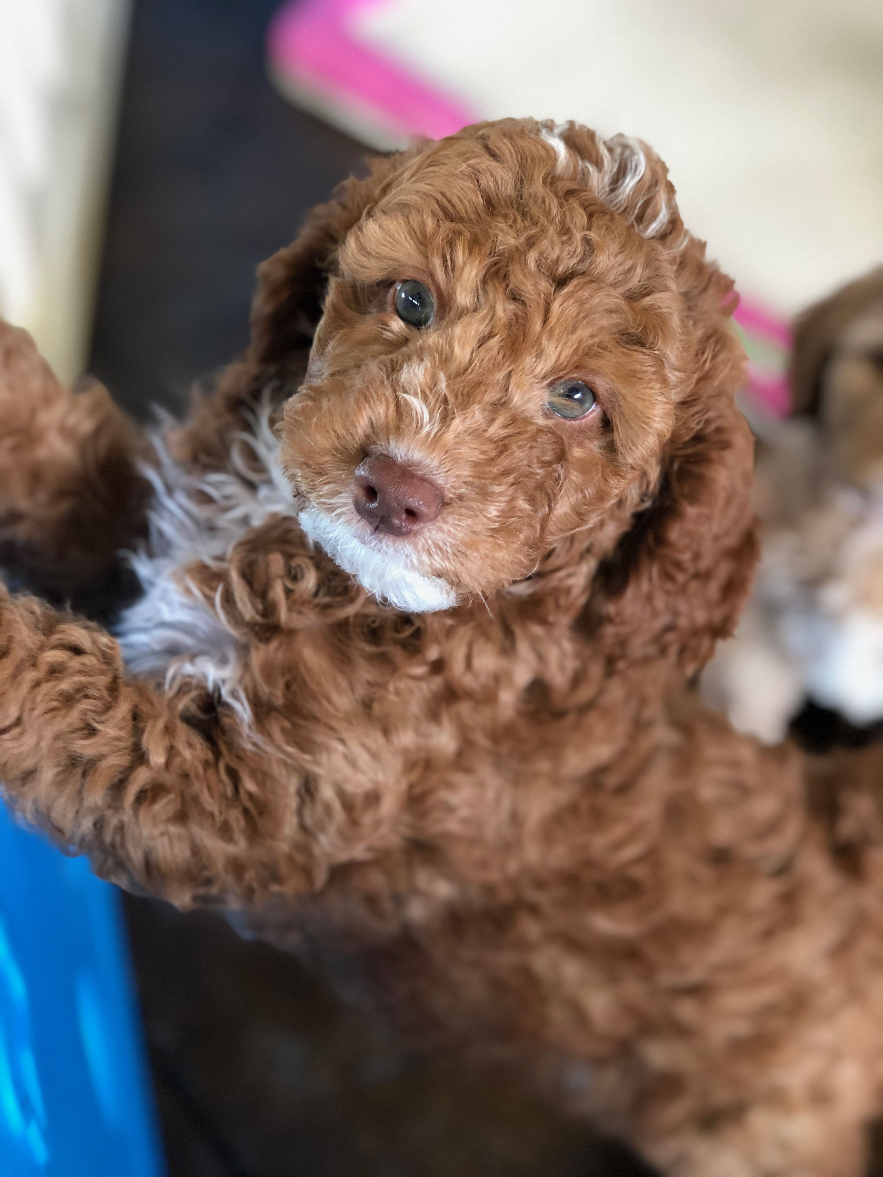 Red And White Mini Australian Labradoodle Labradoodle
