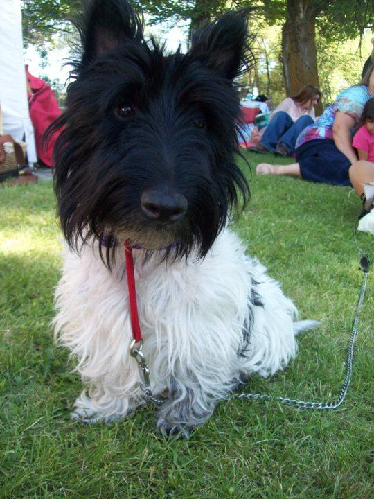 This Is Master Brychan Ap Brycheiniog He Is A Rare Scottish Terrier Coloring A Throwback His Parents Were Brindled Black And Caramel Scottie Dog Cute Dogs Scottish Terrier