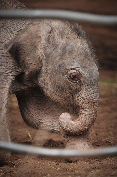 elephant baby elephants pinterest elefanten tier und tierbaby. Black Bedroom Furniture Sets. Home Design Ideas