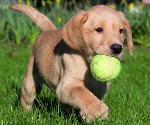Puppy With Ball Honden