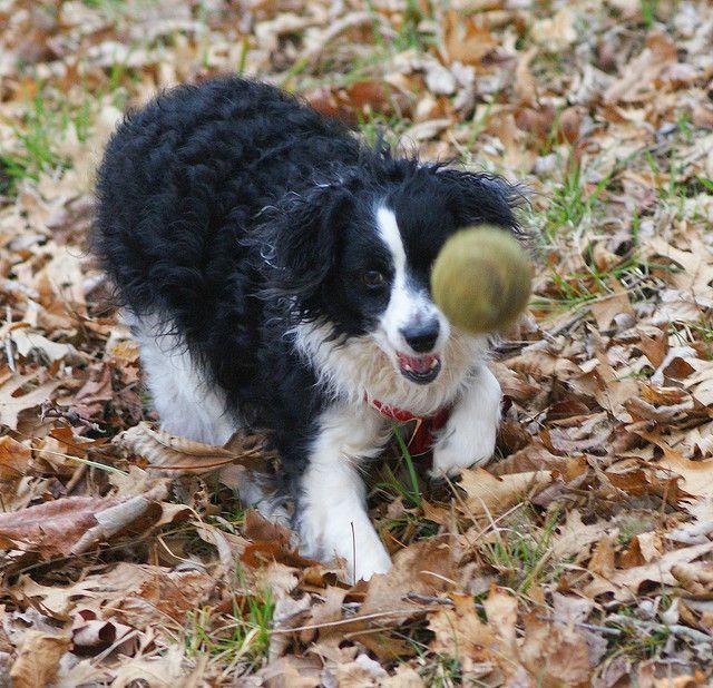 Border Collie Poodle Mix Puppy Time Border Collie Poodle Mix Natural Dog