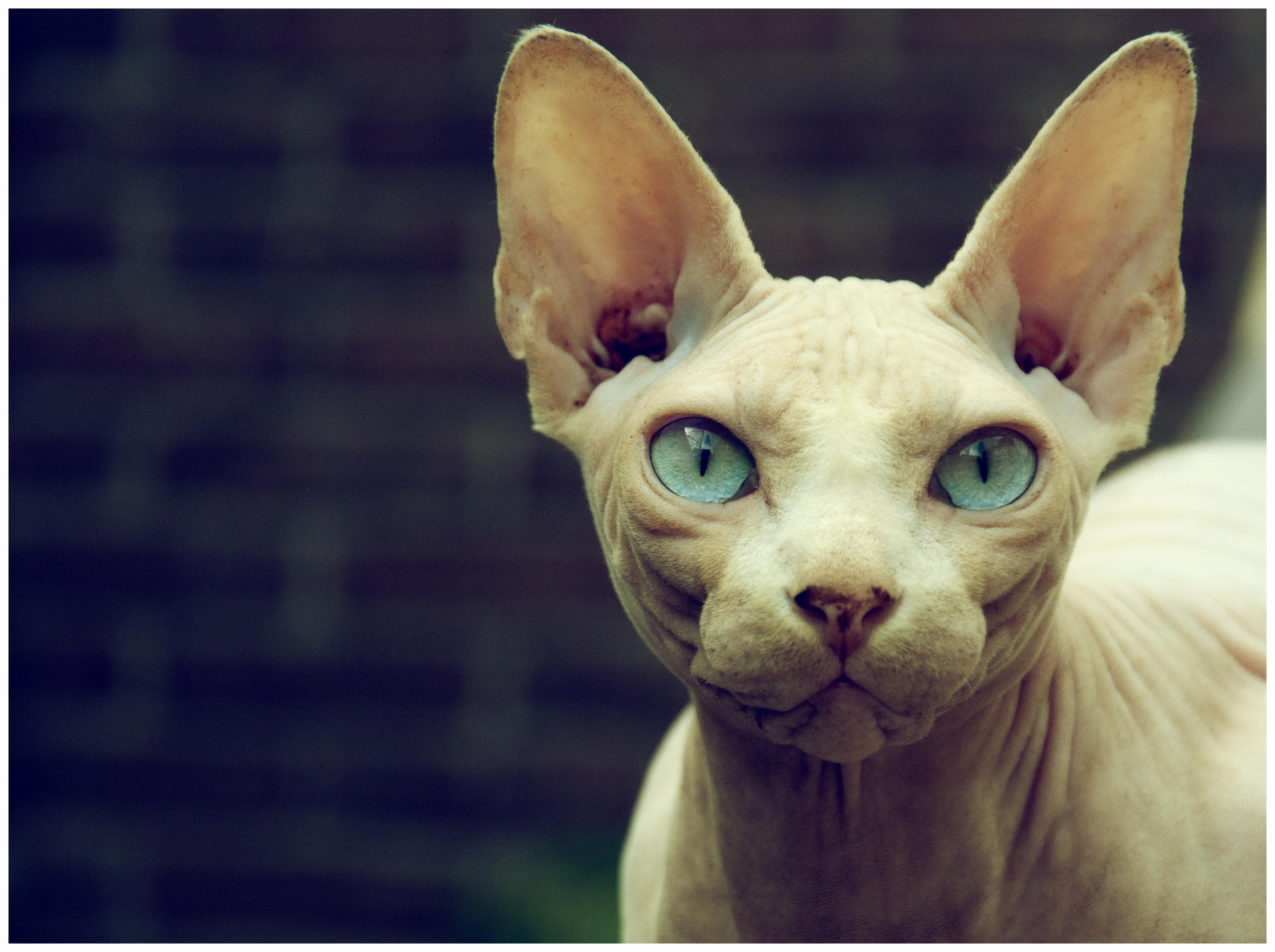 The Sphynx Cat - Cat Breeds Encyclopedia