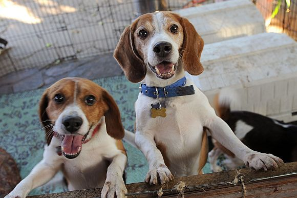 Beagles Rescued From An Animal Laboratory Animals Beagle