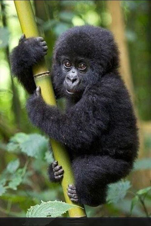صور غوريلات معلومات وانواع الغوريلا Cute Baby Animals Baby Animals Cute Animals