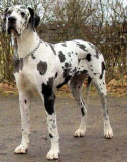 Pennsylvania State Dog Great Dane Great Dane Dogs Dog Dna