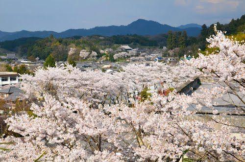 桜の街 - 大宇陀・万葉公園より (2012/4/17)