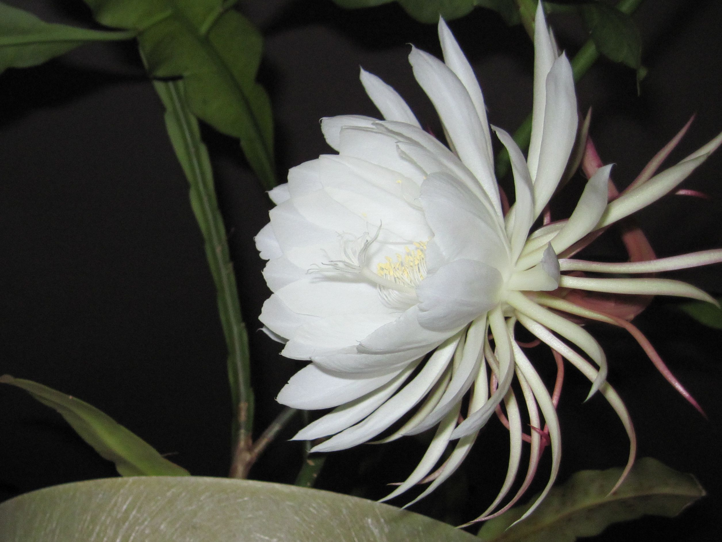 Night blooming cereus traditions of night blooming parties at lewis ginter botanical garden - Flowers that bloom only at night ...