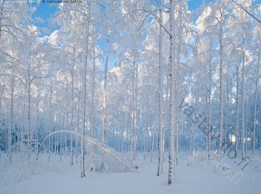 Huurrekoivikko -  talvimaisema talvi lumi koivikko koivut puut taipunut puu koivu huurre  metsä