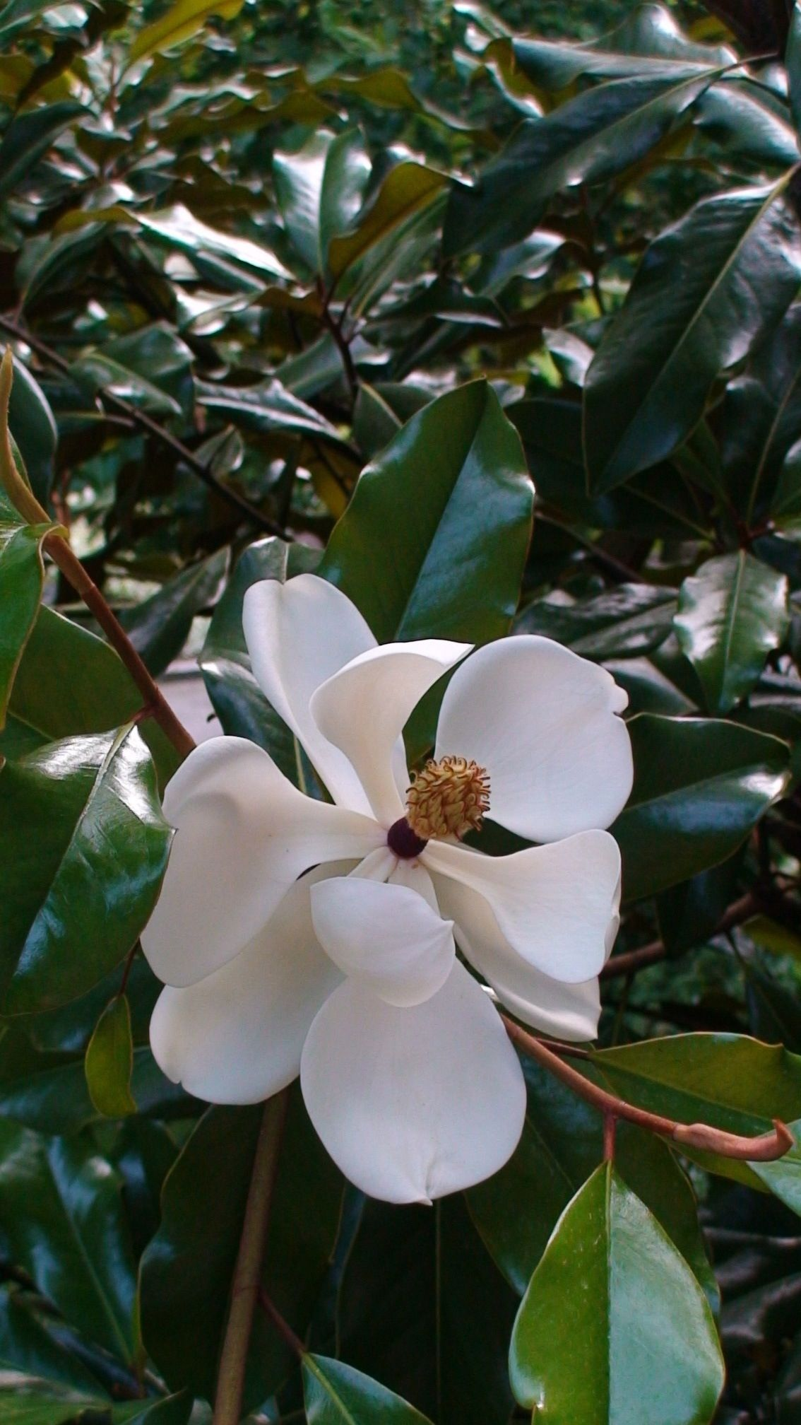 Beautiful Magnolia Tree Bloomhave Two Of These Trees In My