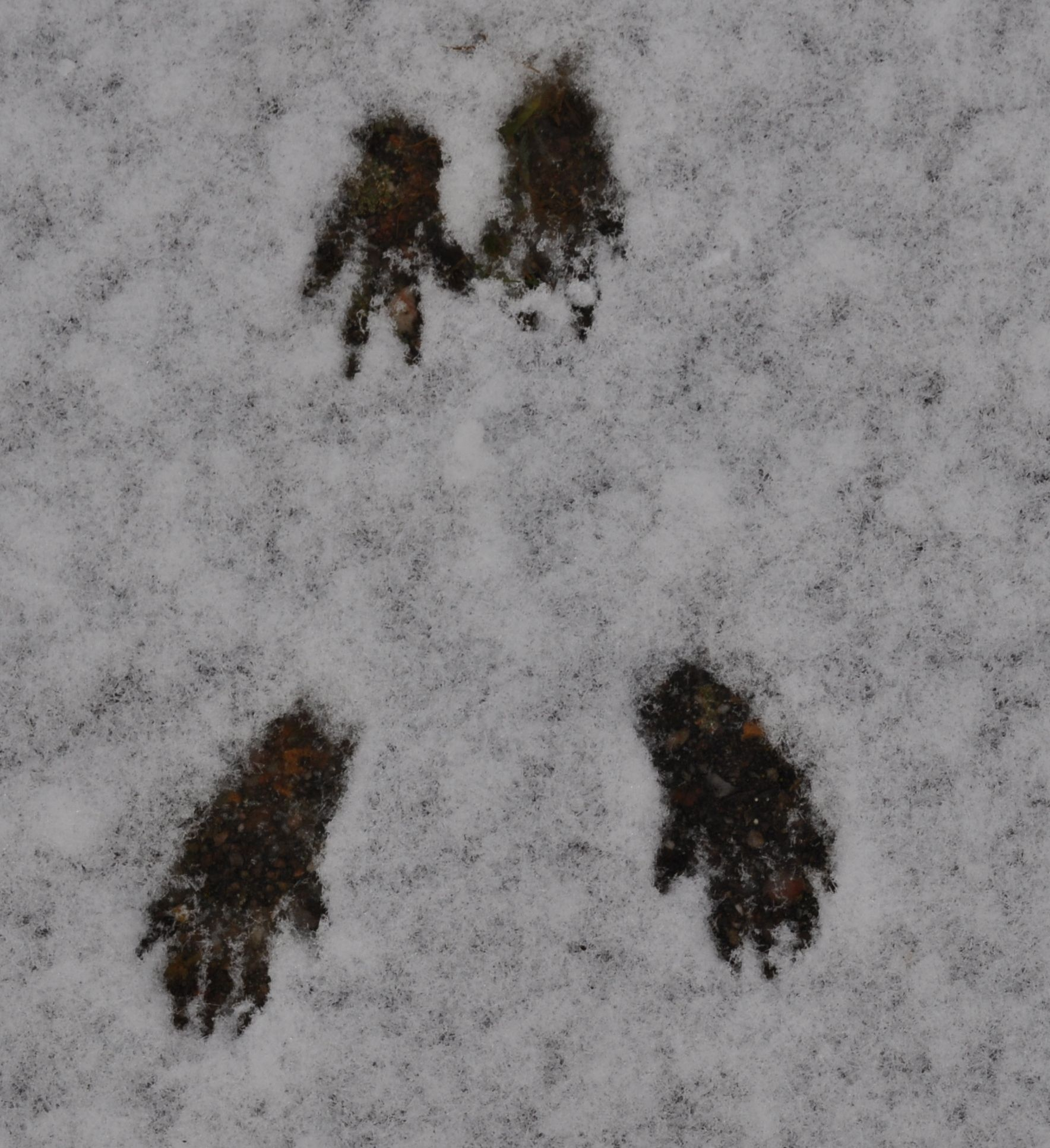 Squirrel Footprints In The Snow