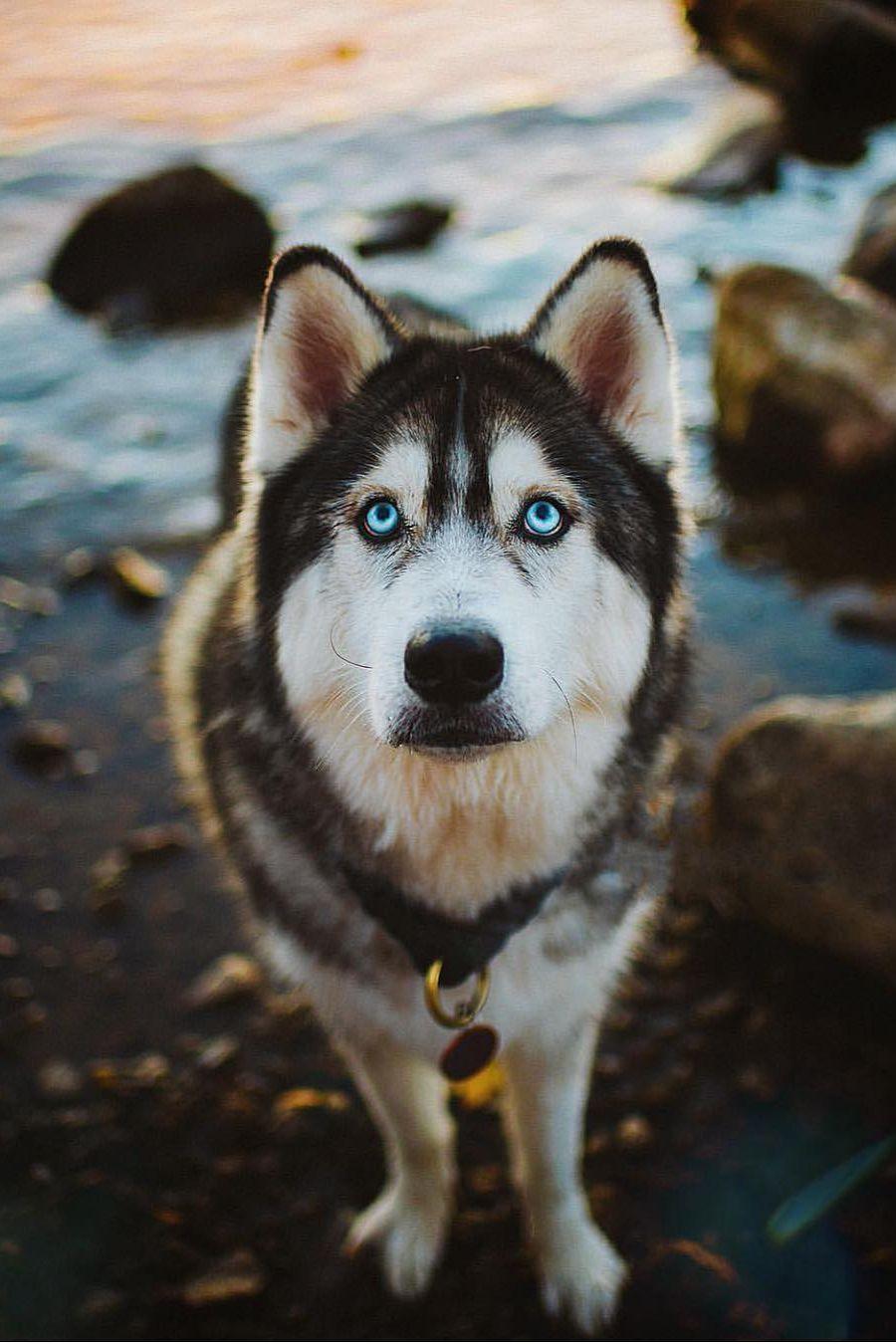 Dogs Zone Dogjokes Dogdayafternoon Doglice Huskies Dogs Blue