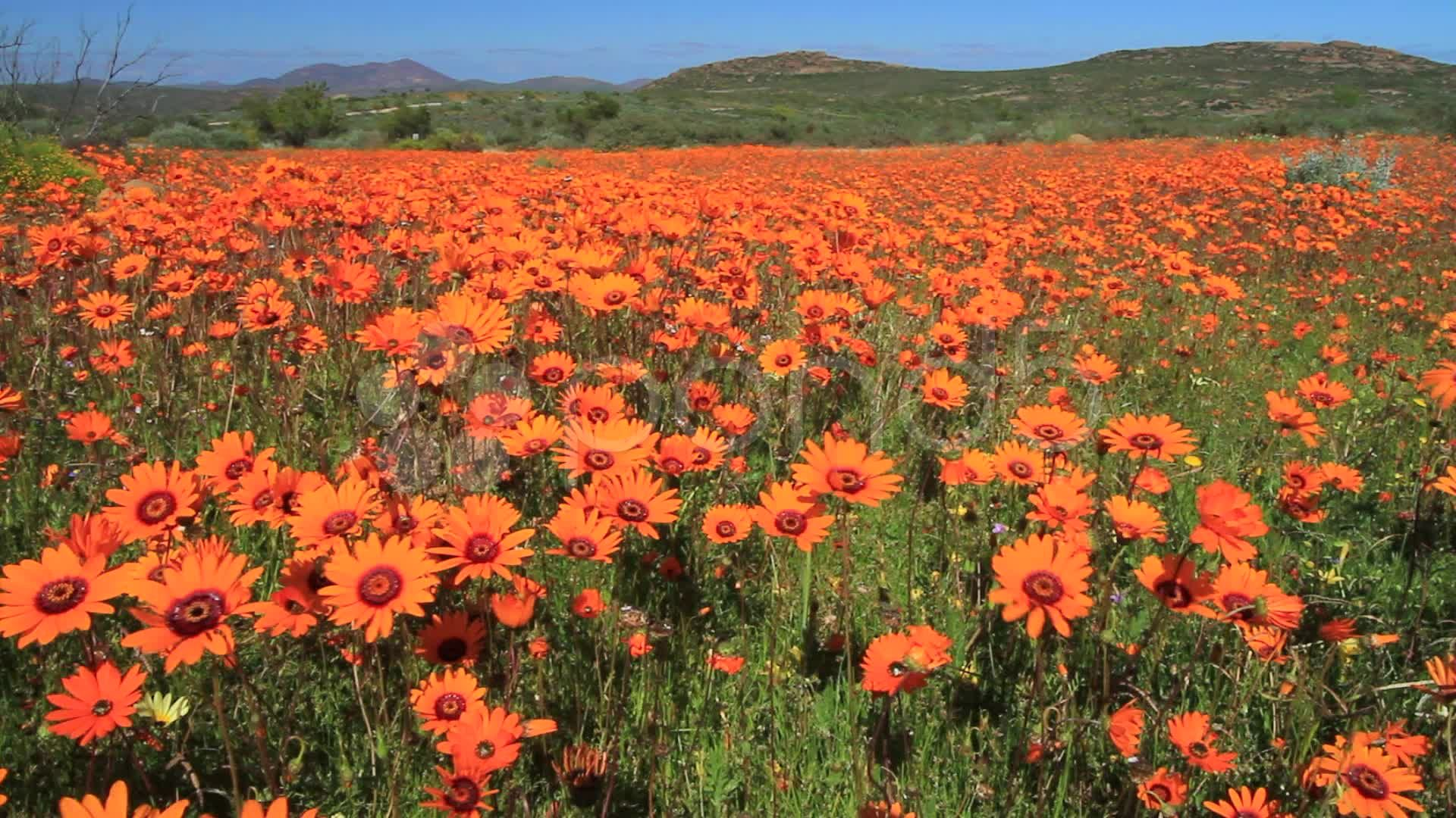 namaqualand-daisies-skilpad-valley-ws-footage-011144730 ...