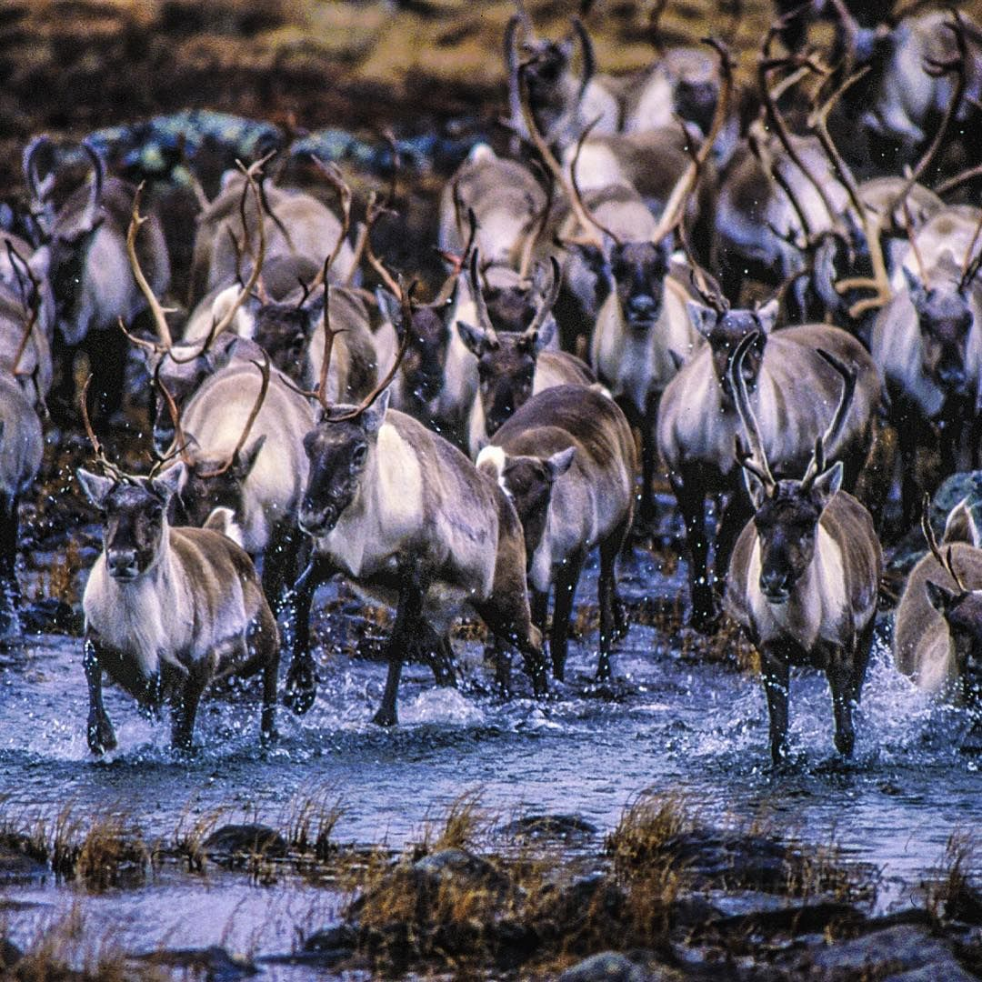 « A group of Barrenground caribou migrate South during