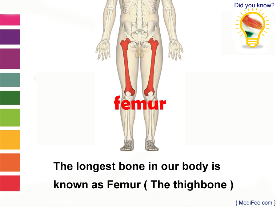 Longest Bone In Our Body Femur Did You Know Health Facts