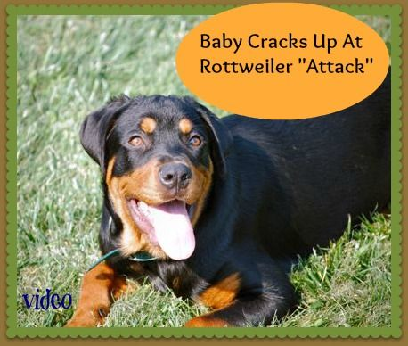 Baby Cracks Up At Rottweiler Attack Video Dogs Rottweiler