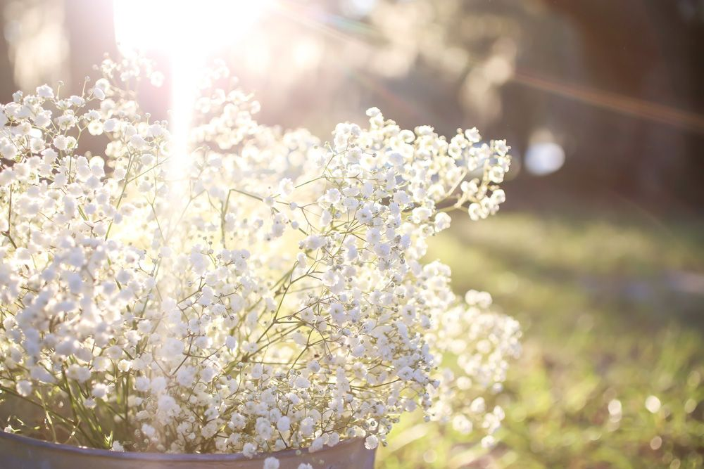 How To Grow Gypsophilia Baby S Breath Baby S Breath Plant Babys Breath Flowers Annual Flowers