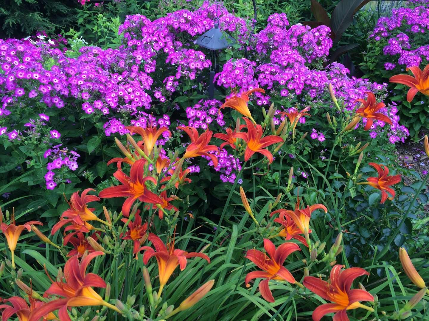 Volcano phlox 'Purple' contrasts nicely with these dark orange daylilies