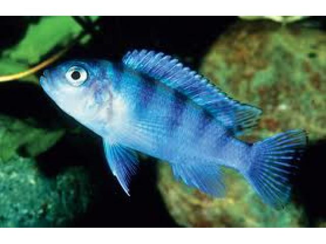 Blue Morph Fish To Buy this type of fishes please contact us. All Types of fishes, Kennels and Aquariums are also available. For Contact details: http://www.agribazaar.co/index.php?page=item&id=730 When you call, don't forget to mention that you found this ad on www.agribazaar.co