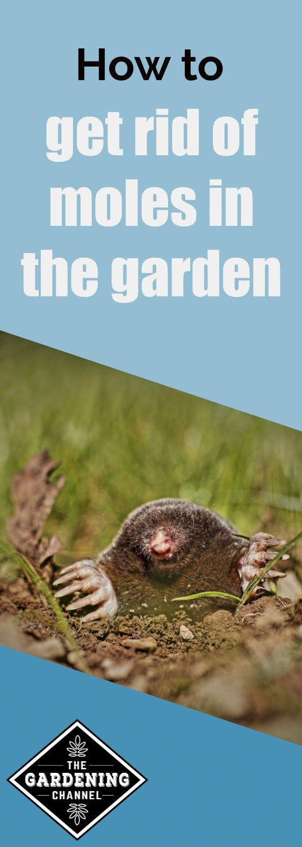 How to get rid of moles in the garden. There are humane ways to protect your plant's roots from these clever animals. #controlpestsingarden