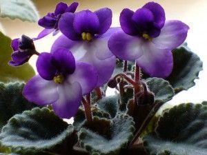 Como cultivar as violetas africanas! Como fazer as mudas?
