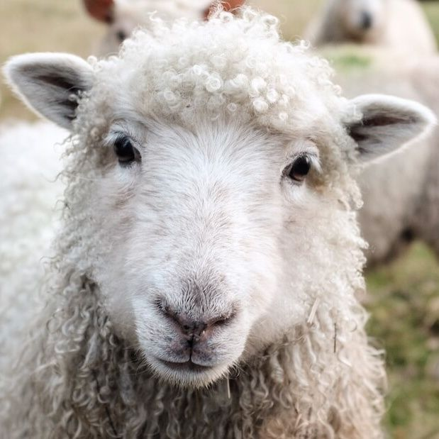 New Zealand Becomes First Wool Producing Country To Ban Sheep Mulesing Farm Animals Pictures Sheep Art Sheep Face