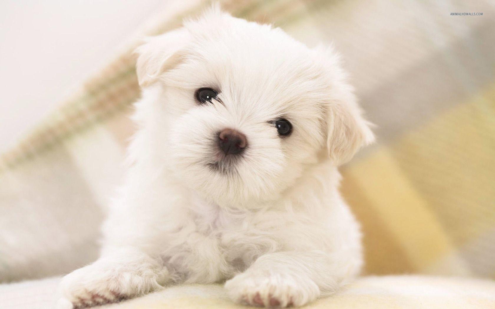 Maltese Dog Breed Information Best Small Dogs Dog Shedding Best Small Dog Breeds