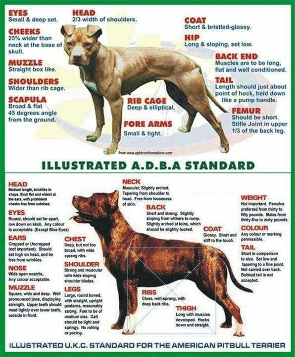 Adba Or Ukc With Images American Pitbull Terrier Pitbull