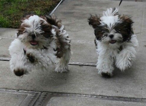 Double Trouble Shih Tzu Dog Shih Tzu Puppies
