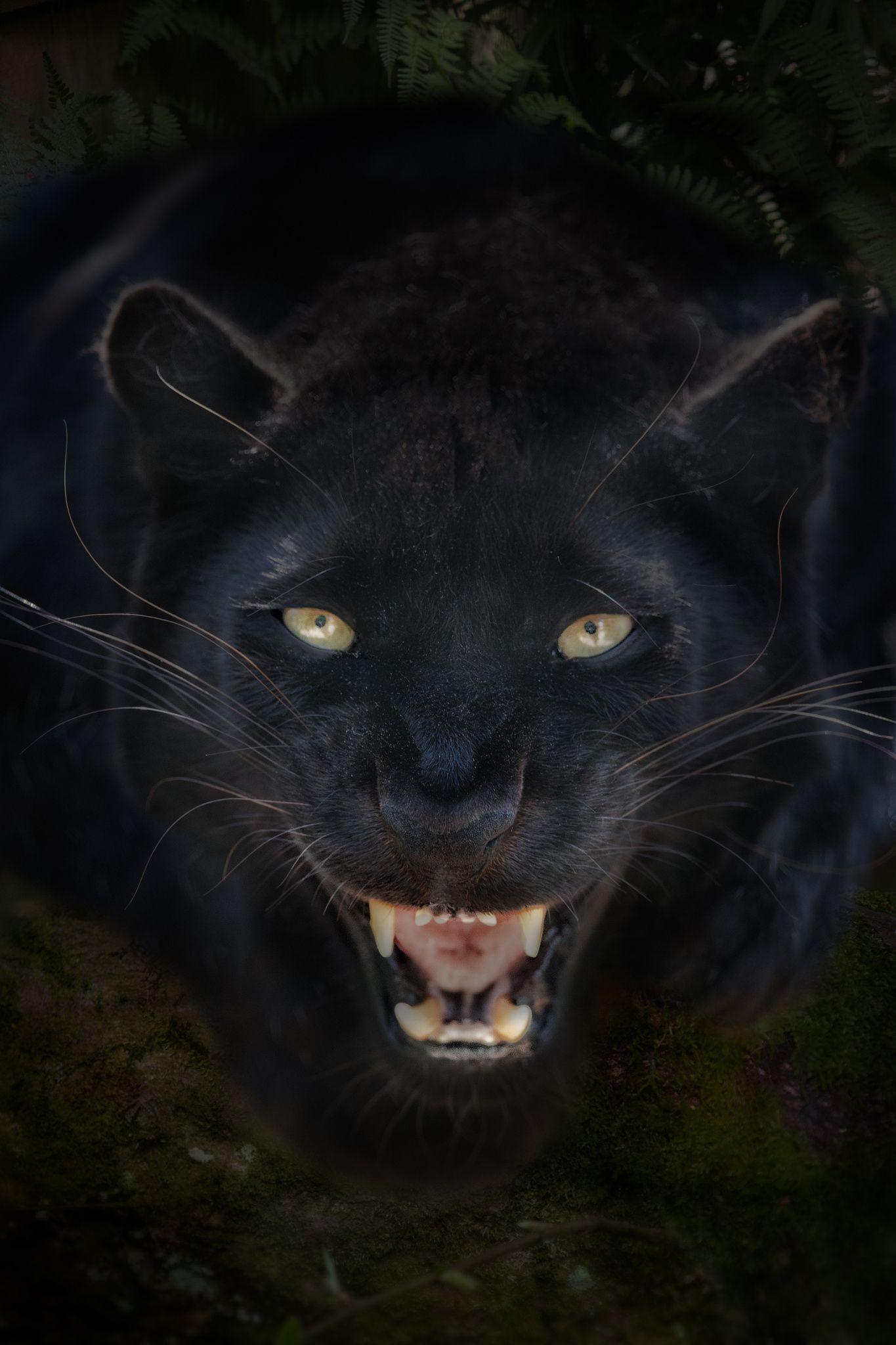 Картинка оскала черной пантеры