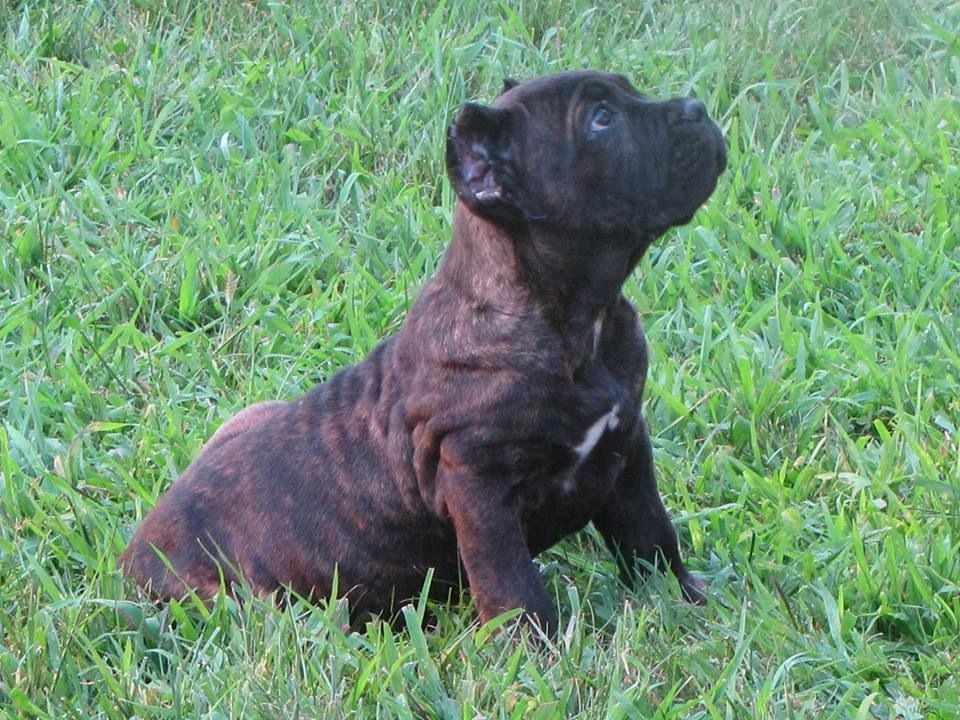Our Boy Voodoo 12 Week Old Cane Corso Puppy Cane Corso Puppies Cane Corso Puppies