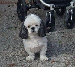 Lost Dog Shih Tzu Hialeah Gardens Fl United States Losing