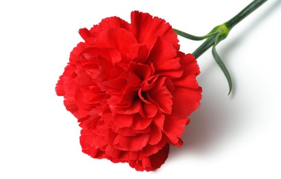 Meanings Of Carnation Flowers Of Different Colors Just Fascinating Carnation Flower Carnation Flower Meaning Flower Meanings