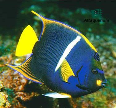 Pez ngel rey en cautiverio puede adaptarse perfectamente for Cria de peces en cautiverio