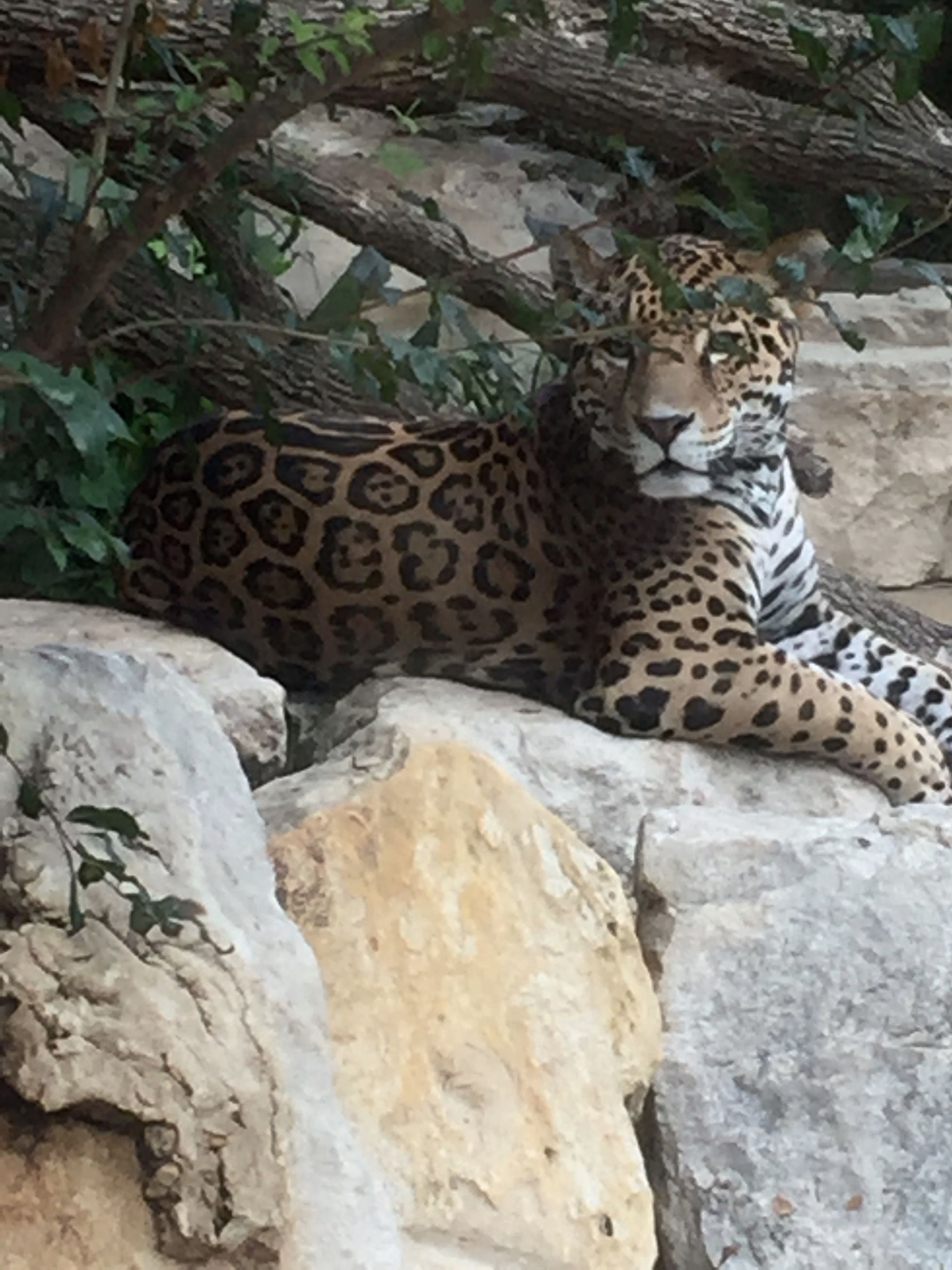 Jaguar San Antonio >> Pin On Animals Of The San Antonio Zoo
