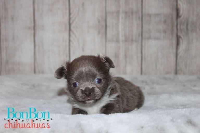 Pin On Chihuahua Puppies