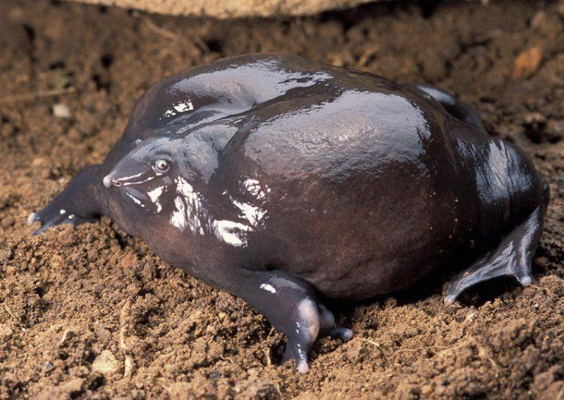 espece de grenouille pourpre