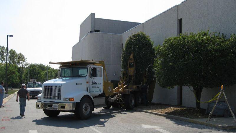 Tree Moving by Expert Tree transplanting, Big tree, Tree