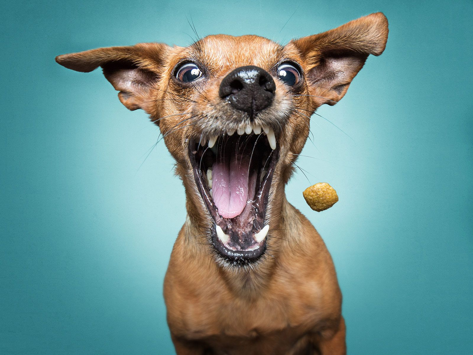 The unbridled joy of dogs catching treats Very cute dogs