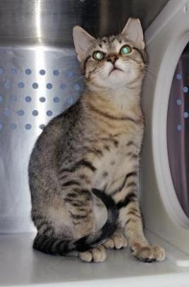 Adopt Juliet On Kittens Animals Adoption