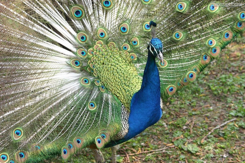 3d Peacock Wallpaper For Smartphone Visit The 3d Hd Wallpaper Online Portal To Download The Free Images For Your Entir In 2020 Peacock Pictures Peacock Images Peacock