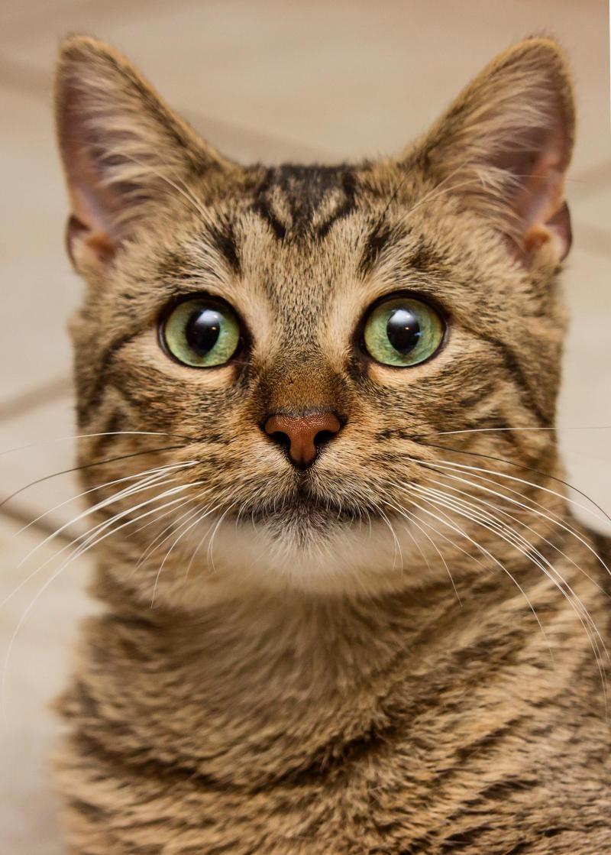 Adopt Daniel Striped Tiger on Cats, Pet adoption, Pet search