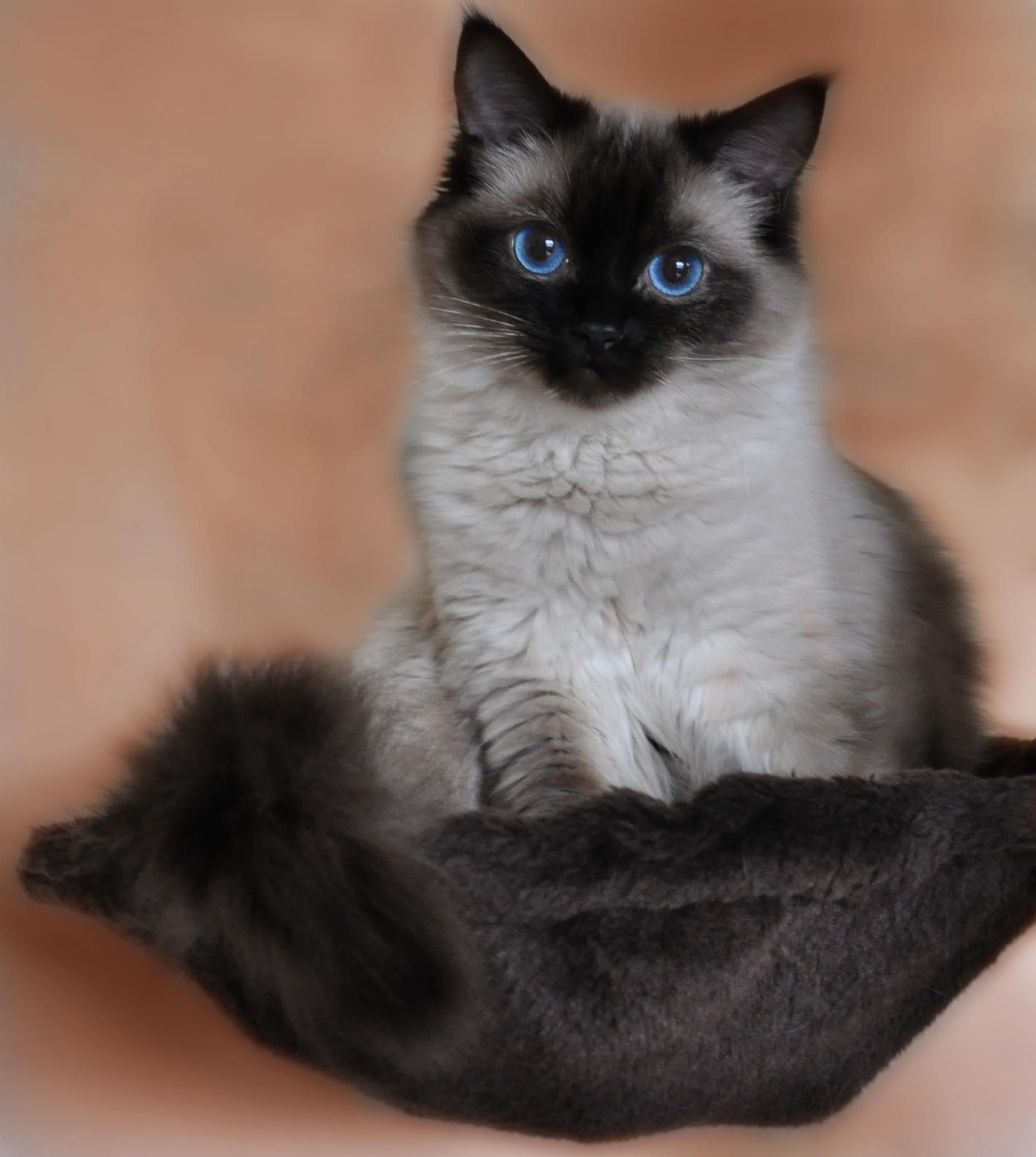 Ragdoll Cat Breed Spotlight By Petco Gorgeous Cats Cats Cat Pose