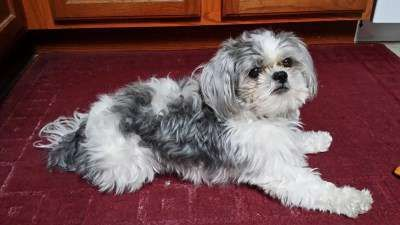 Shih Tzu Origin Interesting History And Ancestry Of The Breed