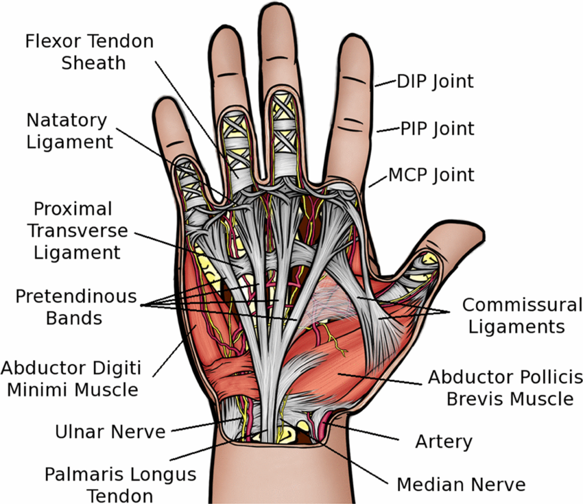 hand diagram ligaments hand diagram to label