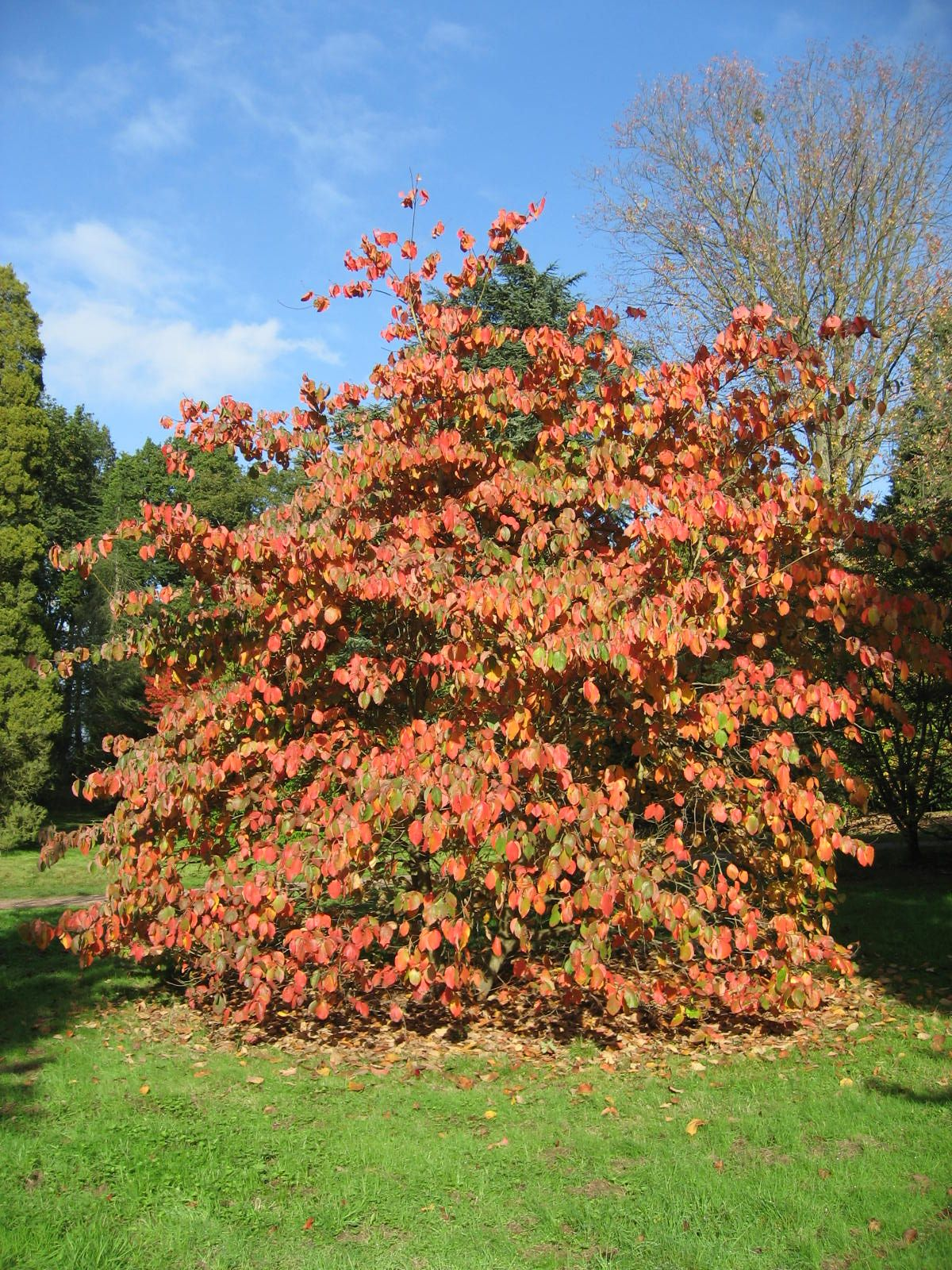 Cornus ormonde is a hybrid of Cornus florida and Cornus nuttalli ...